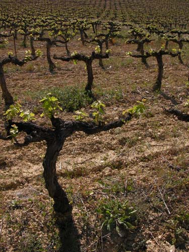 Vines at Chateauneuf du Pape