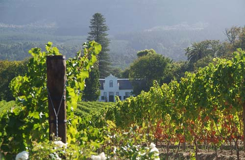 Vines at Constantia, South Africa