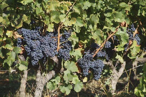 Bunches of black grapes on the vine