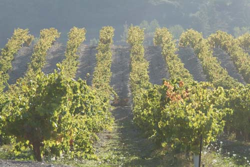 Vineyards undulating across the contours